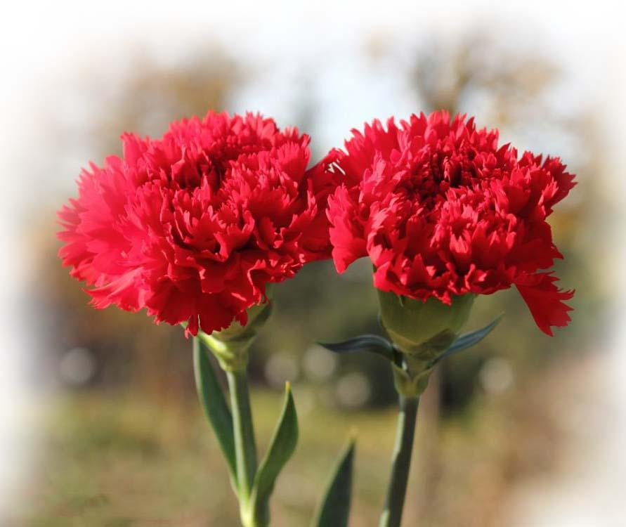 biệt thự đơn lập carnation hoa cẩm chướng